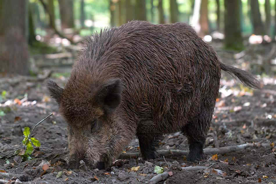 Wildschwein Waldkauz im Wildpark