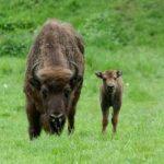Wisent mit Kalb im Wildpark Schwarze Berge