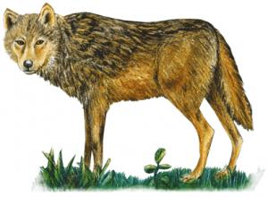 Wolf guckt mystisch im Wildpark Schwarze Berge