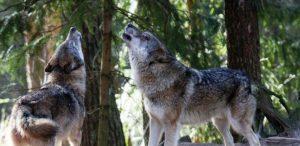 Wölfe heulen, Wildpark Schwarze Berge, Wölfe, Sonne