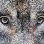 Wolfaaugen im Wildpark Schwarze Berge