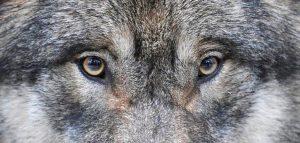Wolfsaugen im Wildpark Schwarze Berge