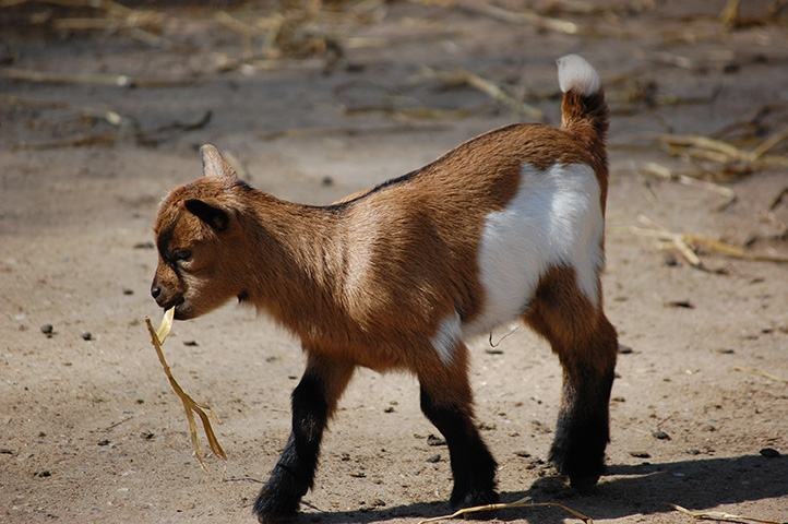 Kleine Ziege im Wildpark Schwarze Berge, Nachwuchs, Frühlingserwachen, neugierig